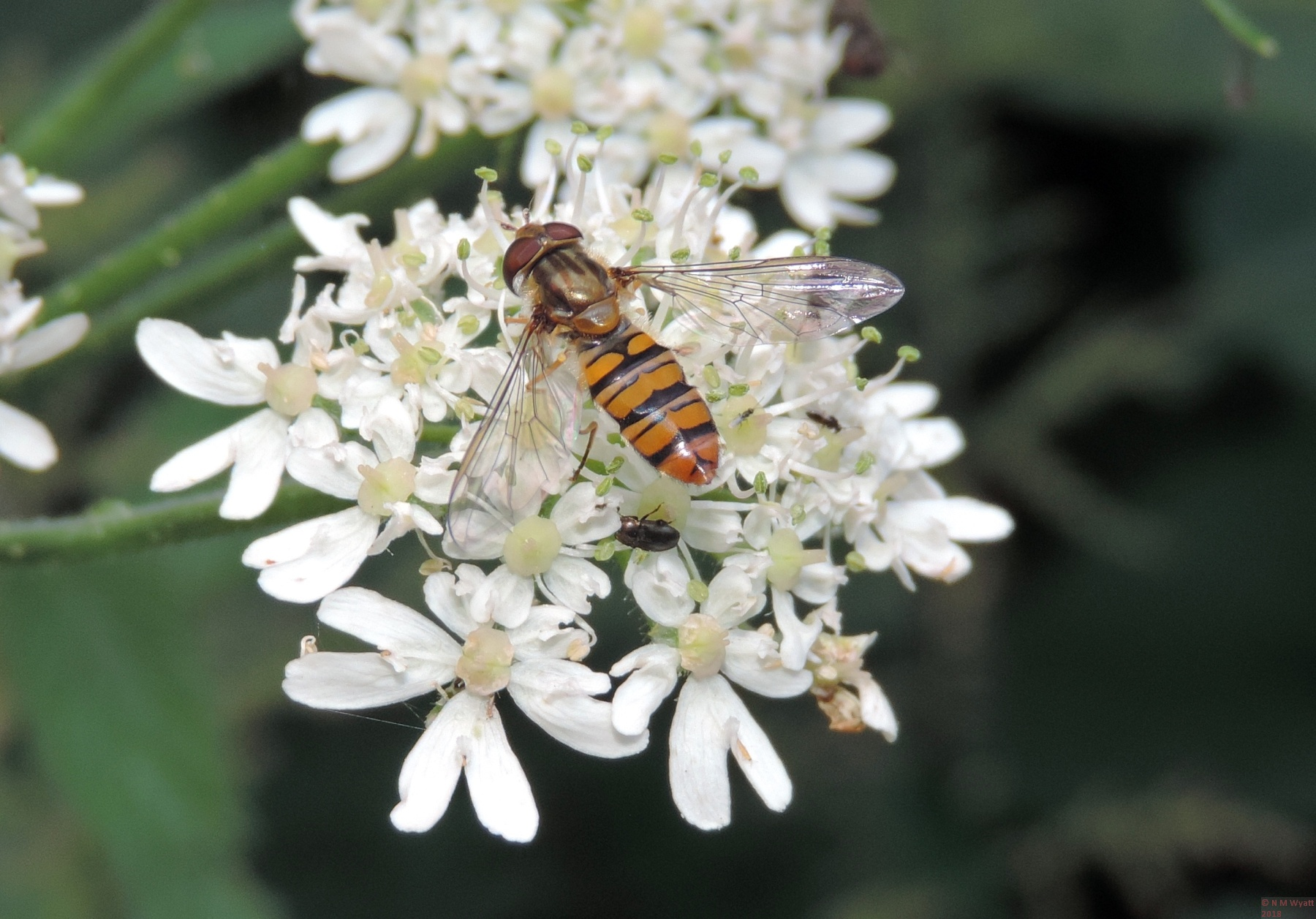Hoverfly still on hogweed showing