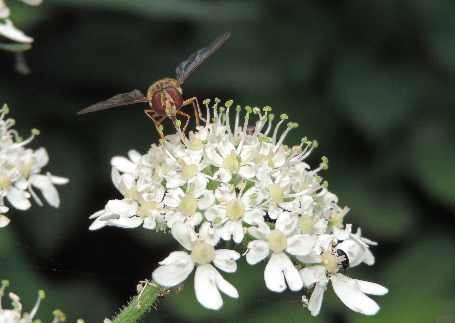 Hoverfly on Hogweed