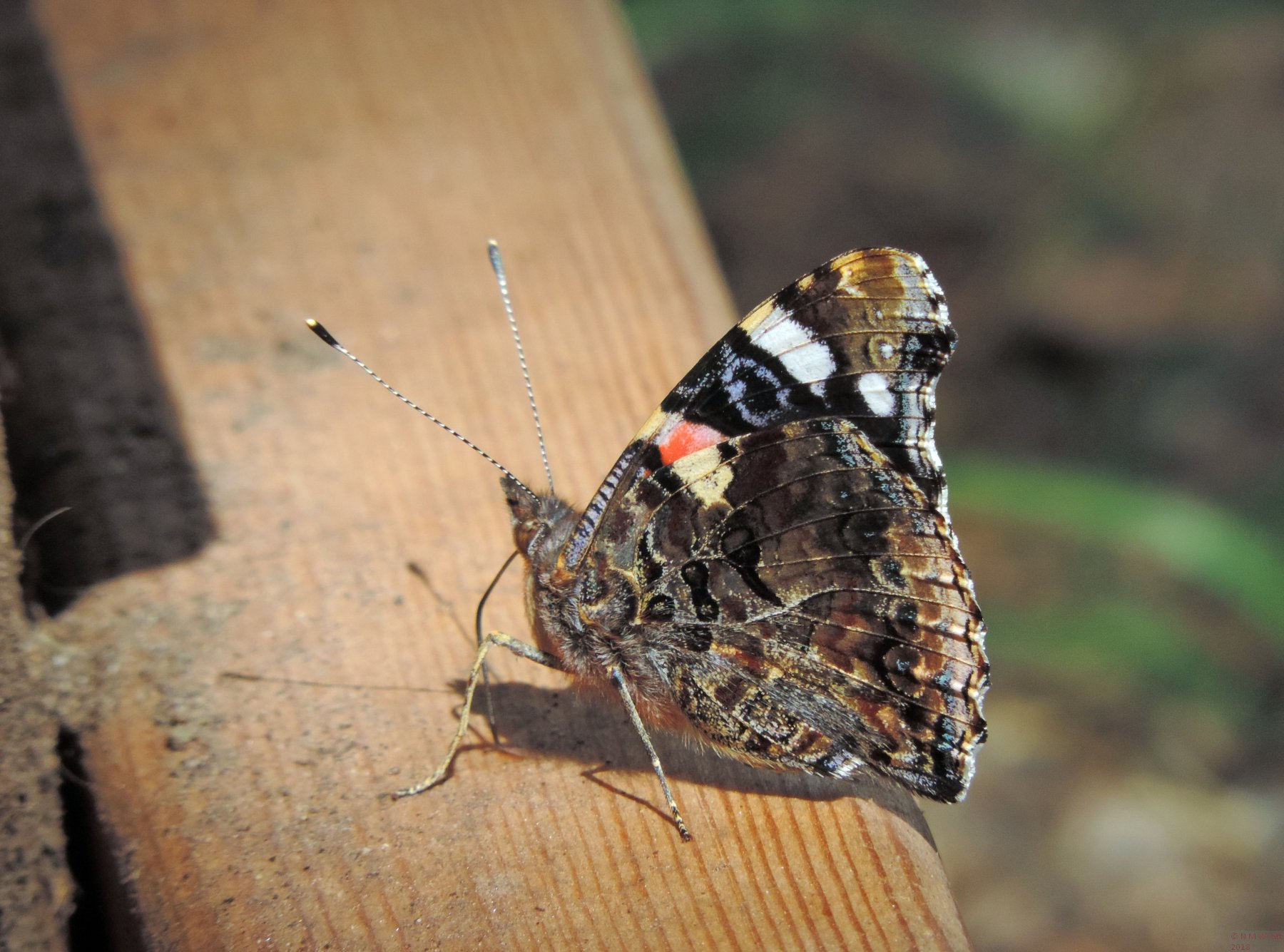 Red Admiral Underside of wing